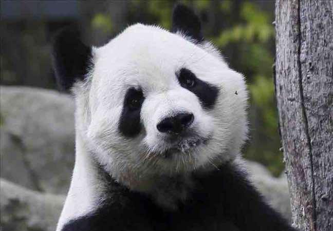 Autoridades chinas prohíben usar osos panda como adivinos en el Mundial. EFE